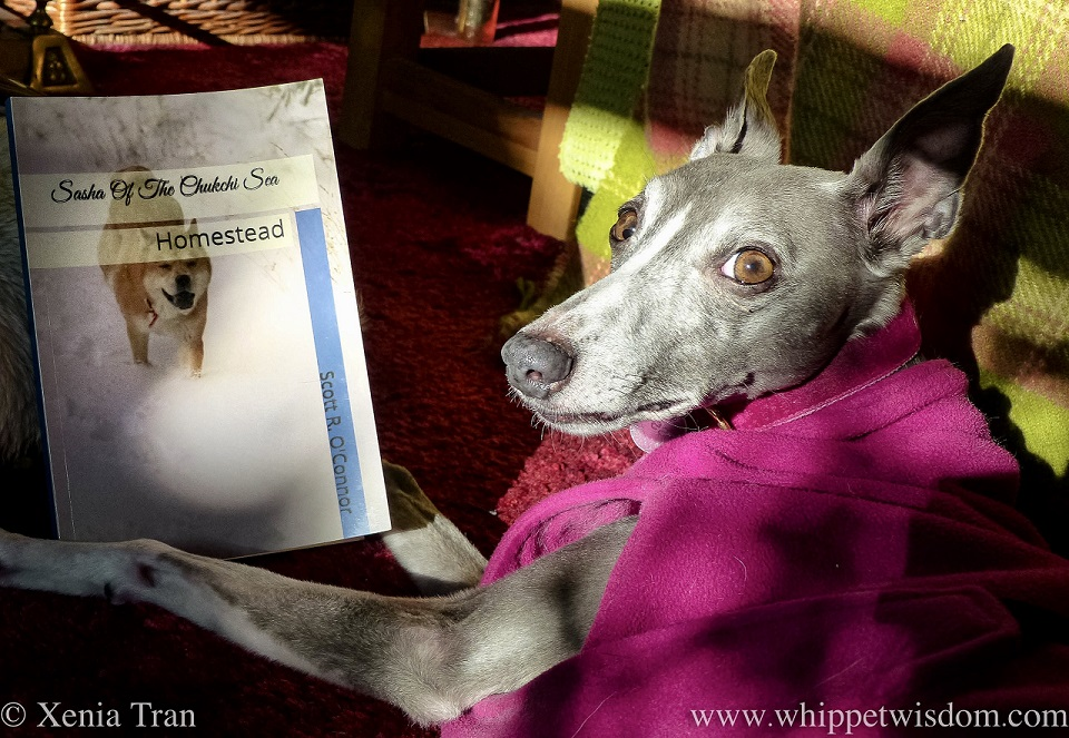 close up shot of a blue and white whippet in a pink fleece with a book