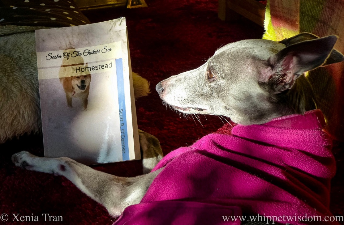 close up shot of a blue whippet in a pink fleece holding a book
