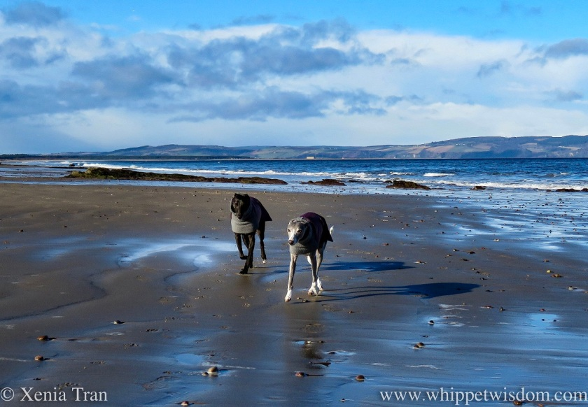 two whippets in winter jackets walking side by side on tidal sands