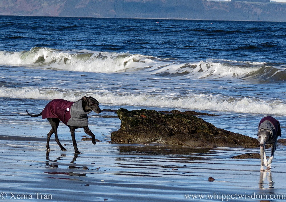 two whippets in winter jackets on tidal sands beside the surf