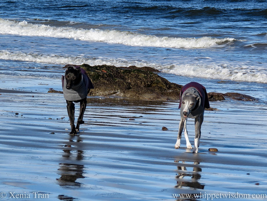 two smiling whippets walking side by side on wet tidal sands