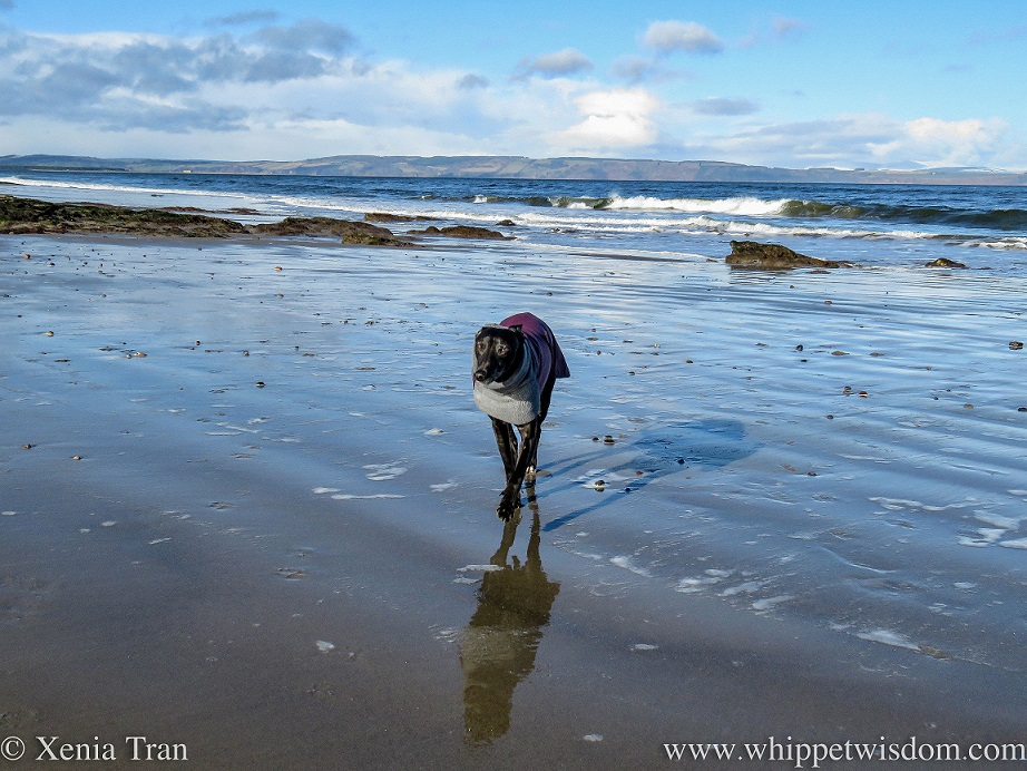 a black whippet in a winter jacket walking across wet tidal sands