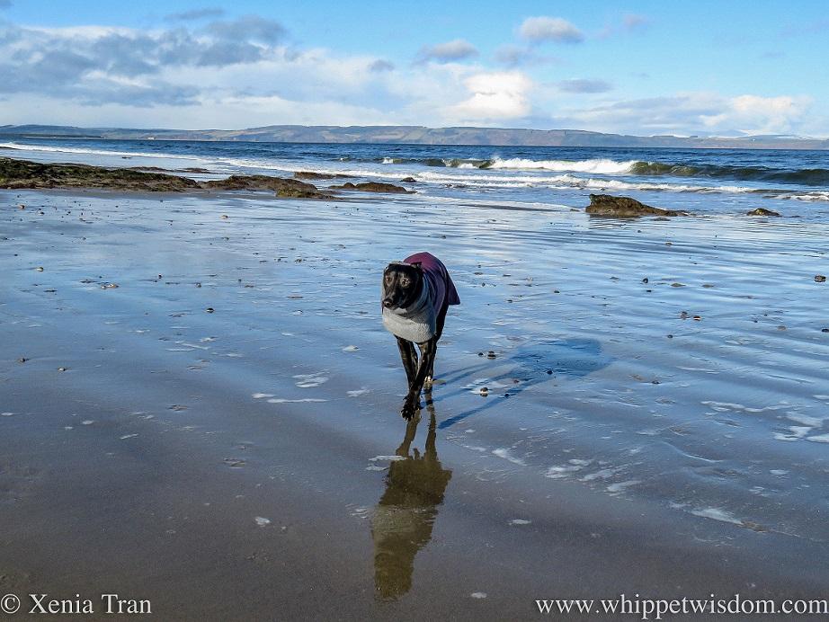 a black whippet in a winter jacket walking across wet tidal sands