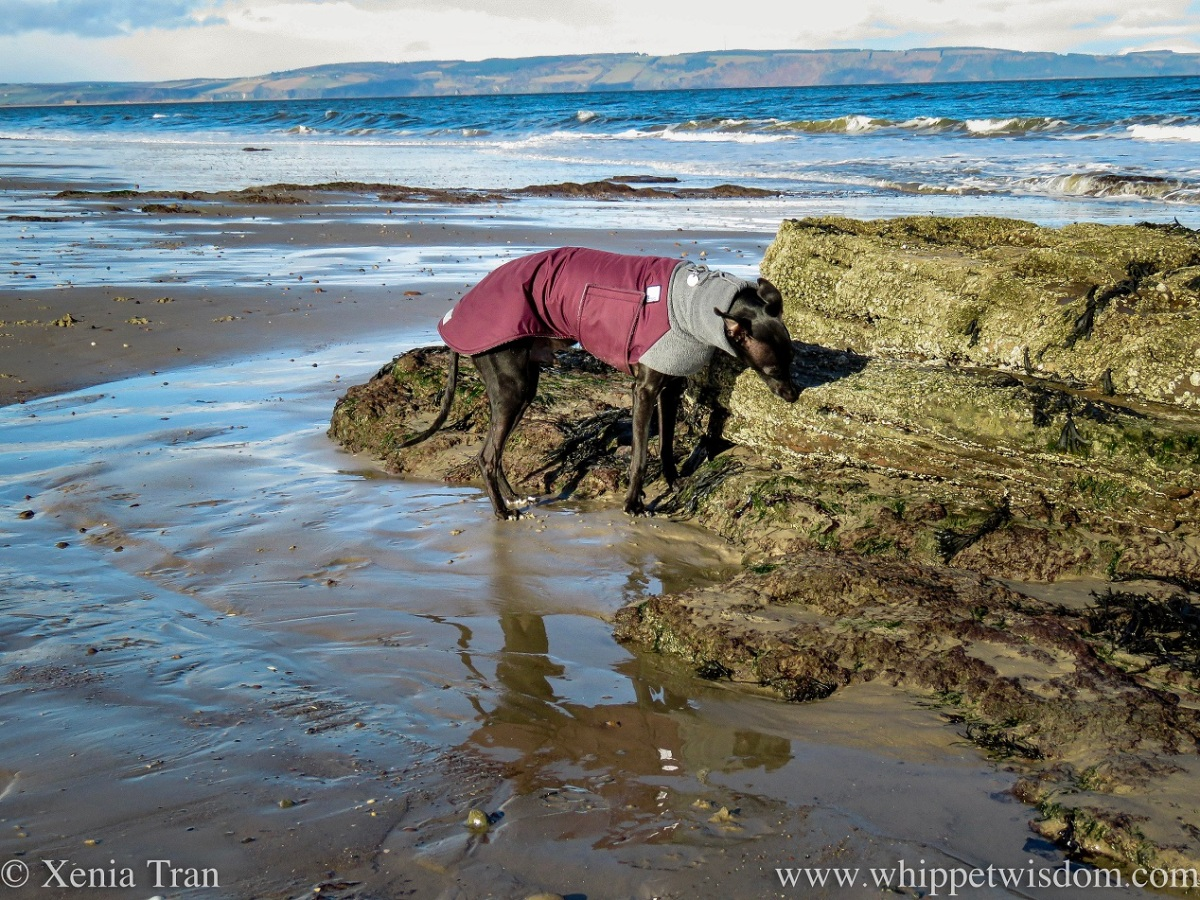 a black whippet in a winter jacket sniffing a rock on tidal sands