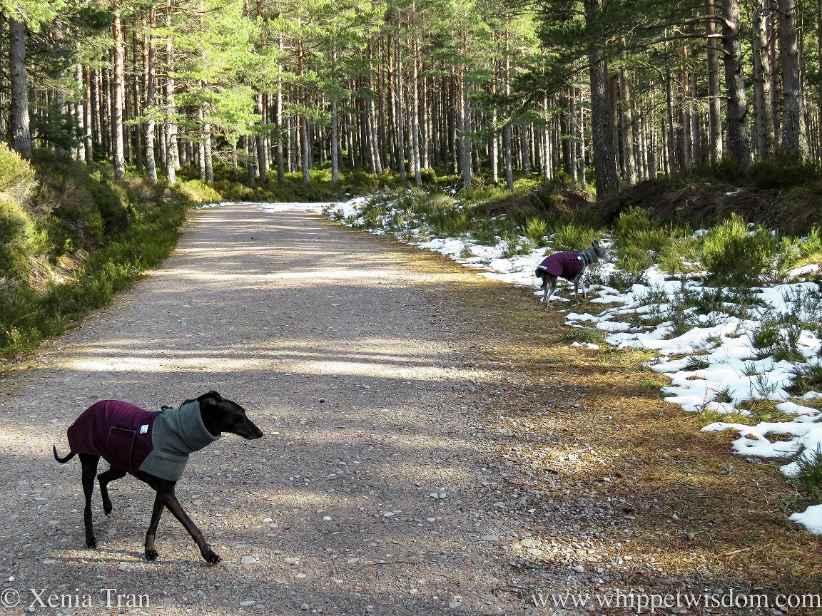 two whippets in winter jackets on a mountain trail with snow and pine