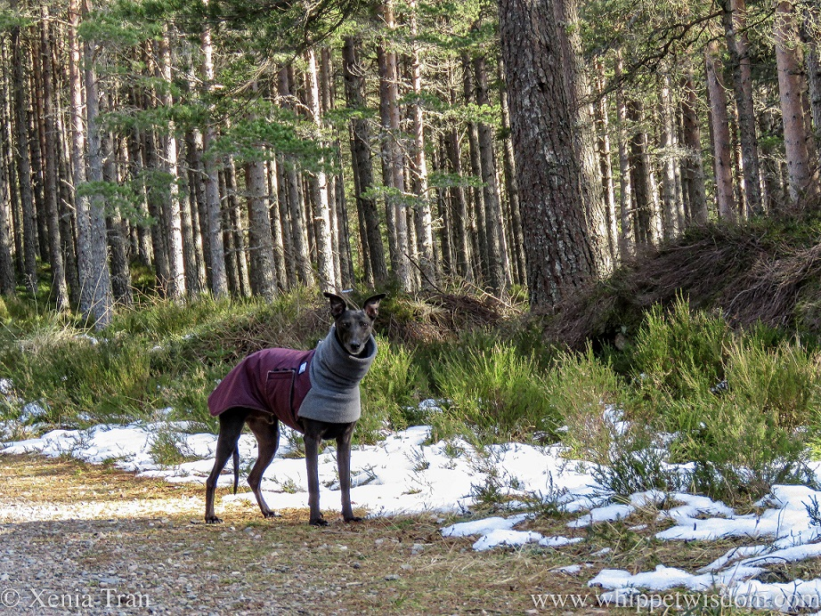 a black whippet in a winter jacket on a mountain trail with snow in the heather