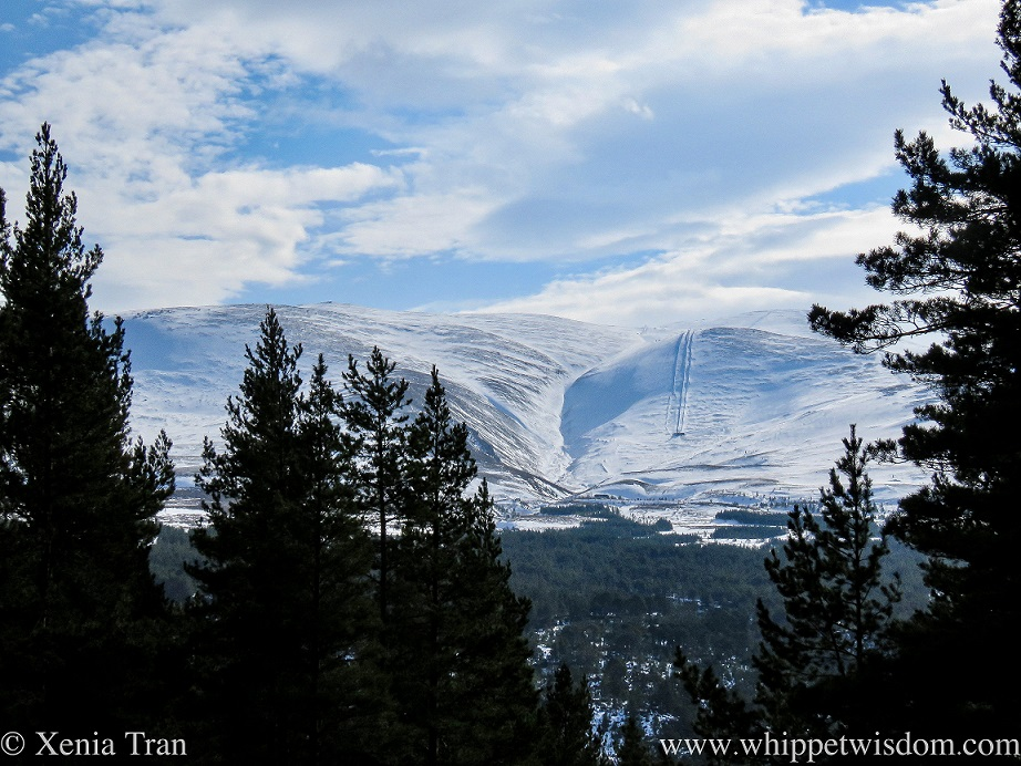 mount cairngorm covered in snow, seen through and above the pine trees