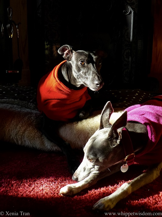 two whippets in fleeces catching the sun in the living room