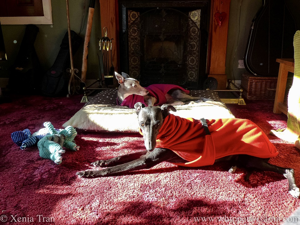 a blue and whippet in a pink fleece in front of the fire place and a black whippet in a red fleece lying on the floor