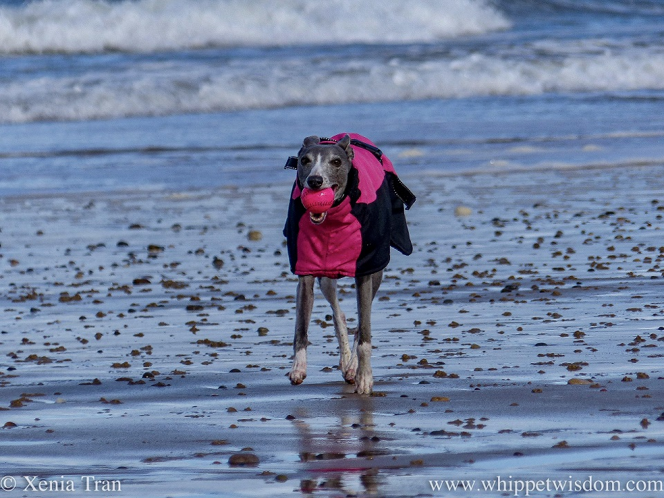 a smiling blue and white whippet with a ball on the beach, wearing a winter jacket