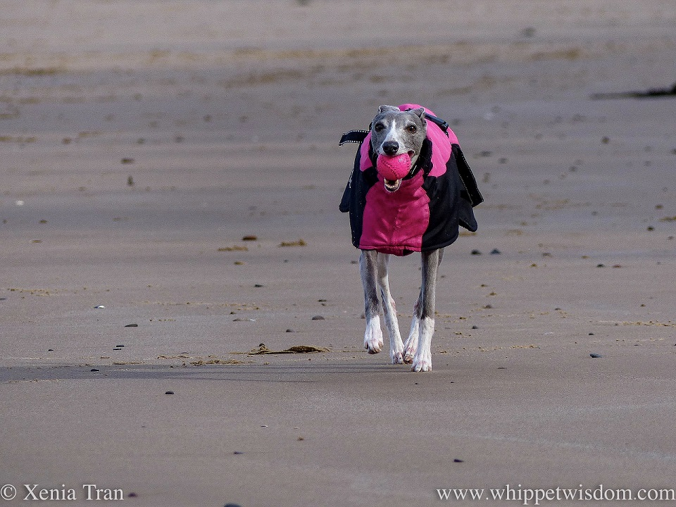 a blue and white whippet in a winter jacket trotting on the beach with a ball