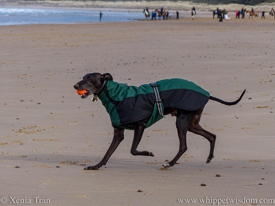 a black whippet in a winter jacket running across the beach with a ball