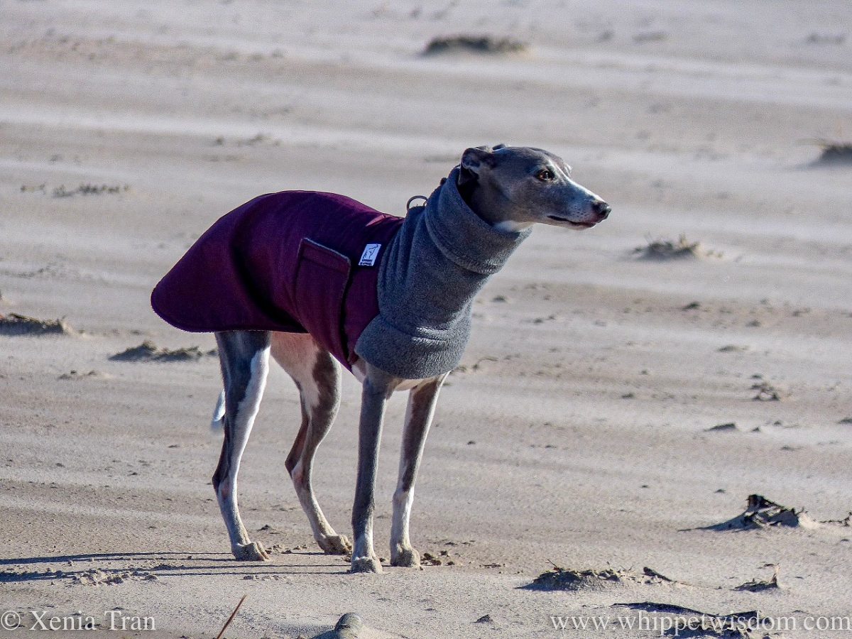 a blue and white whippet in a winter jacket standing on the beach