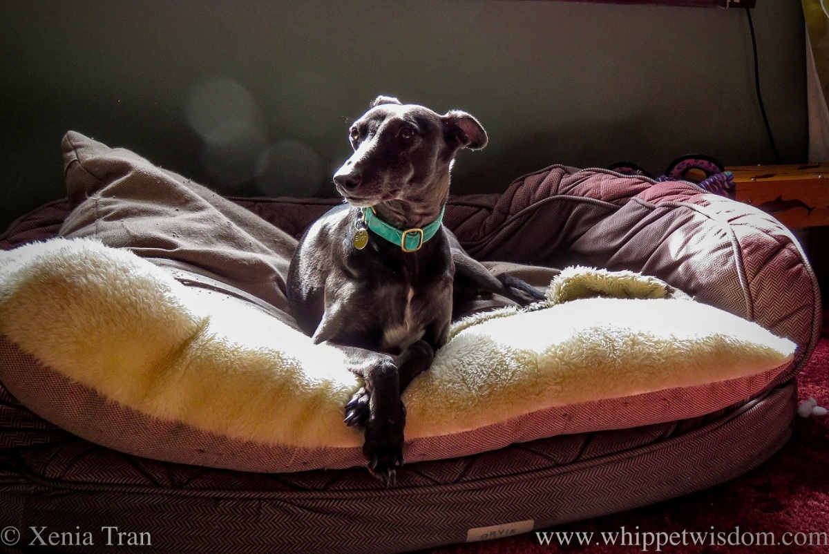 a black whippet sitting in a dog bed with his front paws crossed