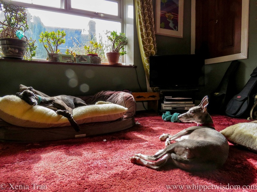 two whippets relaxing at in a cottage living room