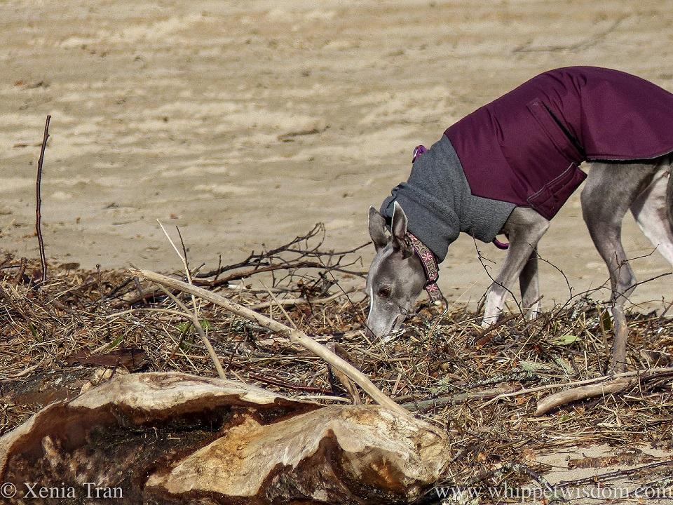 a blue and white whippet in a winter jacket sniffing washed up driftwood
