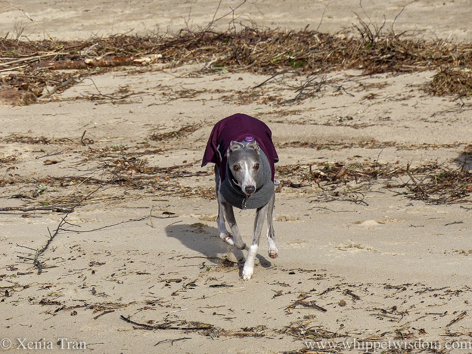a blue and white whippet in a winter jacket walking in front of a line of driftwood