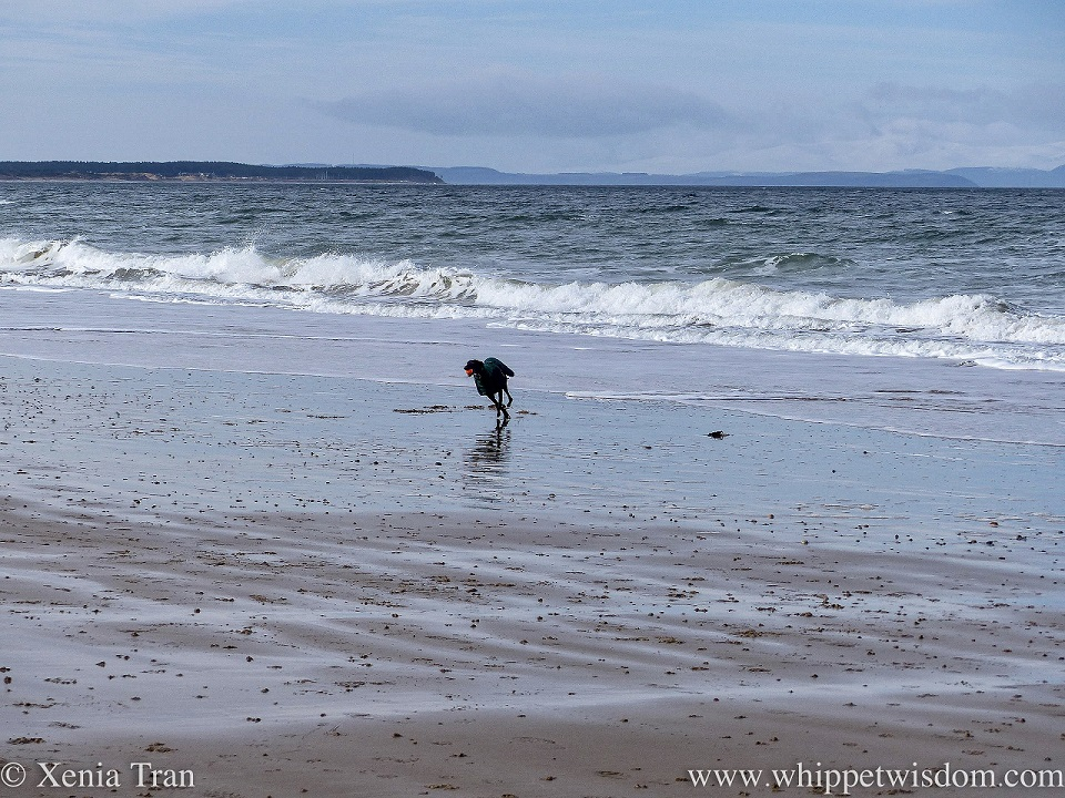 a black whippet in a winter jacket running beside a wild sea