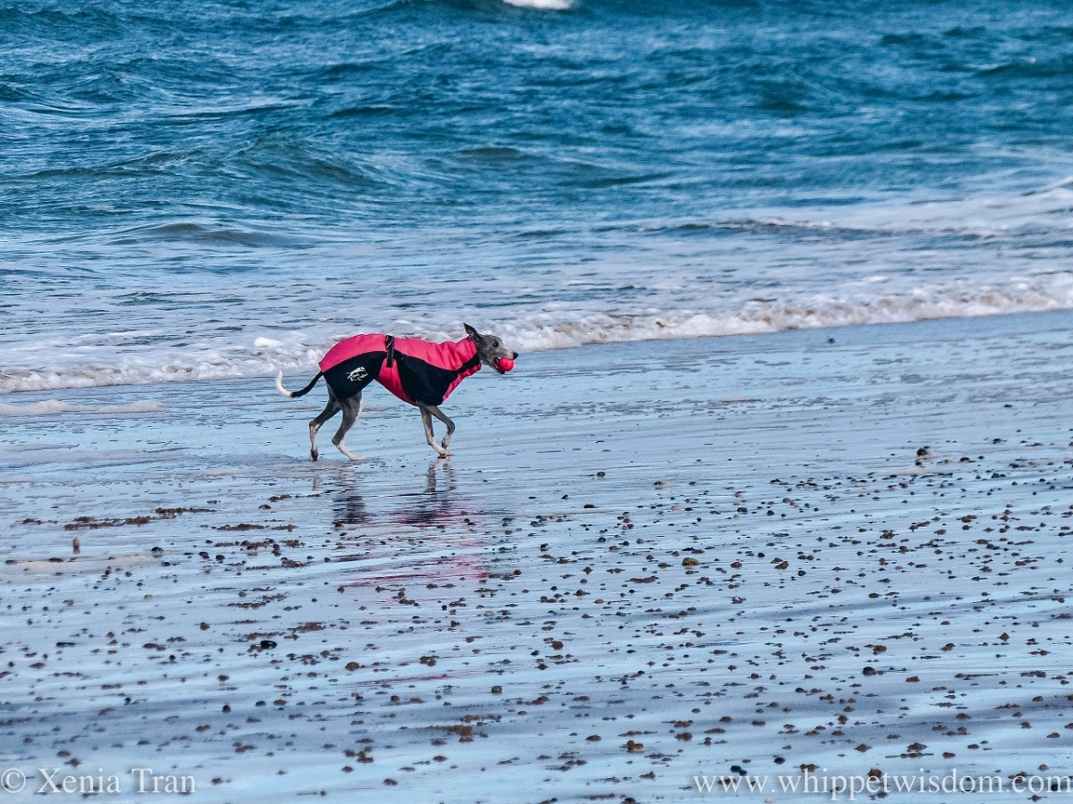 a blue and white whippet in a winter jacket running beside a wild sea with a ball