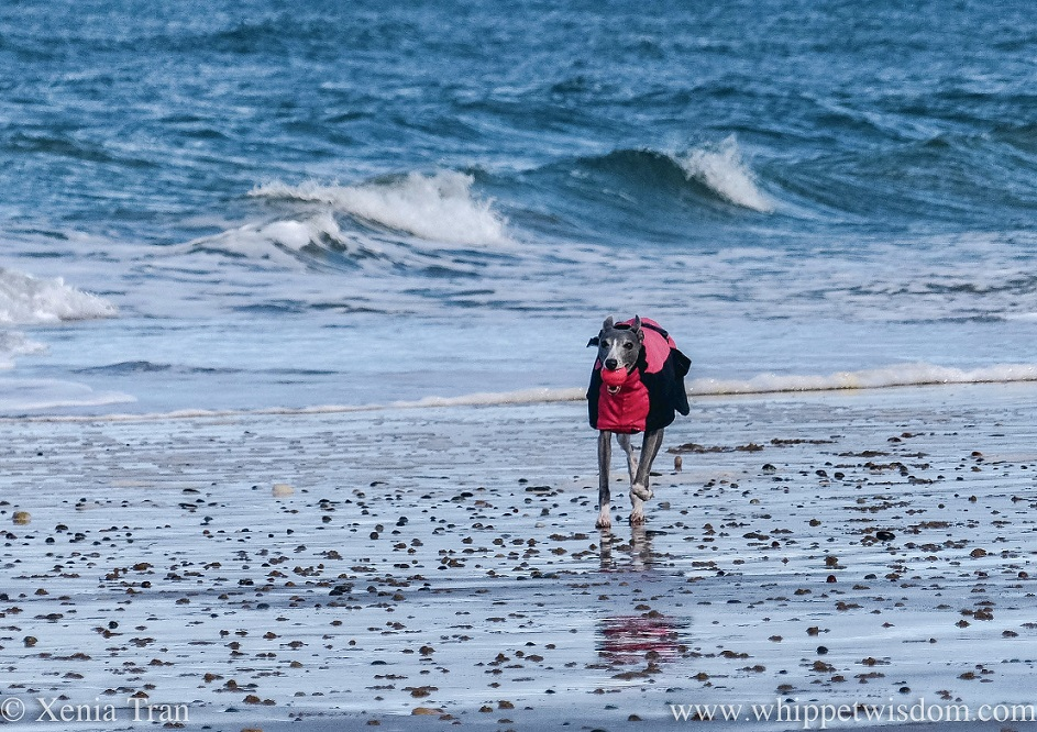 a blue and white whippet in a winter jacket running beside a wild sea with a pink ball