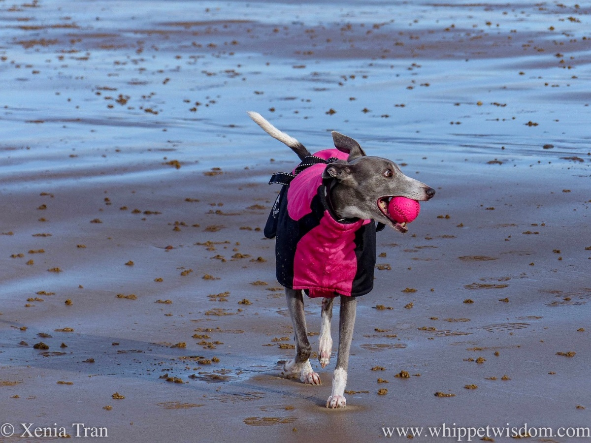a blue and white whippet in a pink winter jacket on the beach with a pink ball