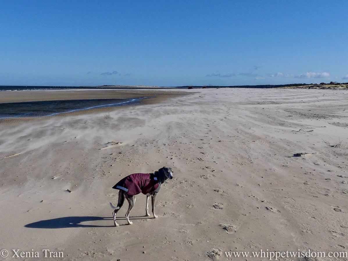 a blue and white whippet in a winter jacket on a deserted beach