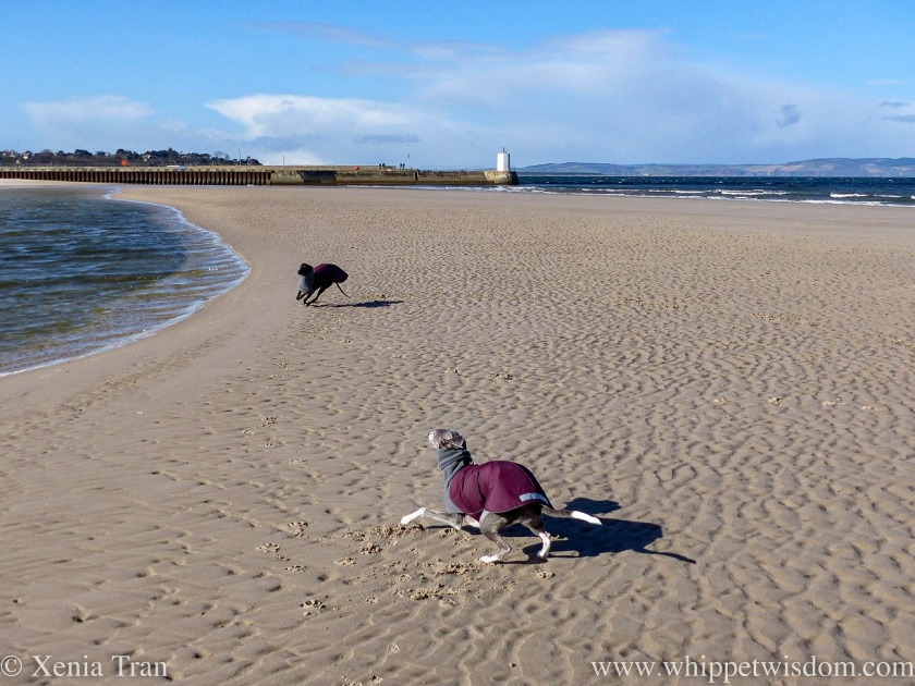 two whippets playing on a sandbar near the lighthouse