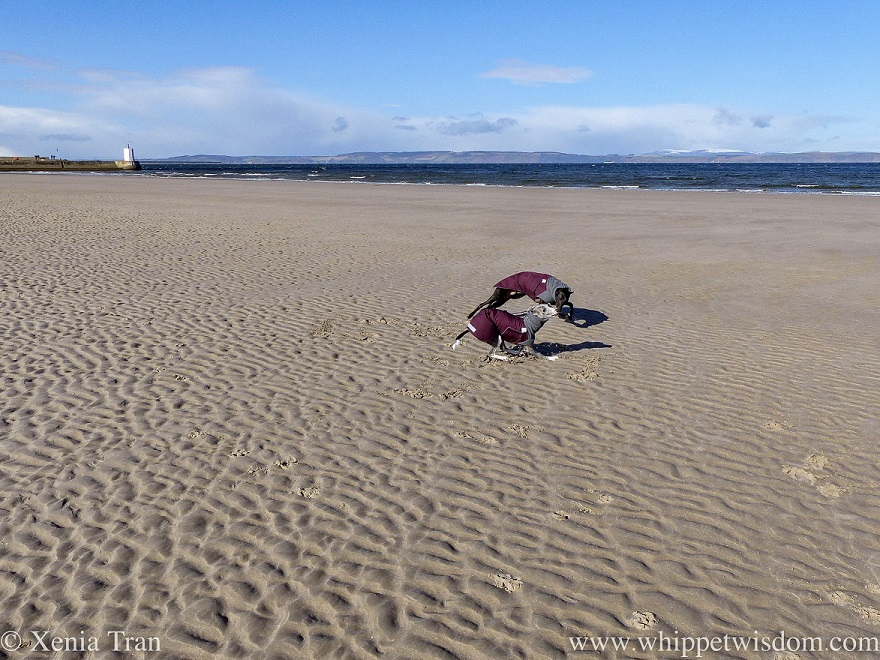 two whippets in winter jackets playing on a sandbar
