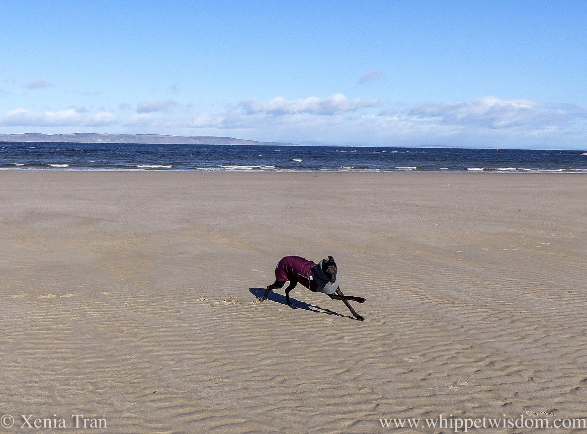 a smiling whippet in a winter jacket zooming across tidal sands
