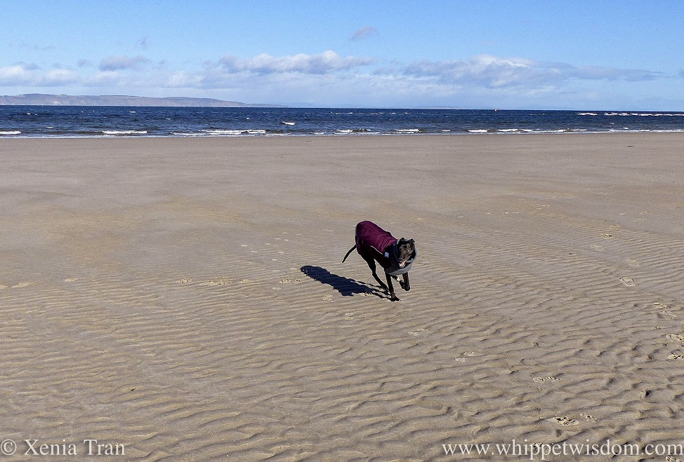 a smiling black whippet in a winter jacket running on the beach