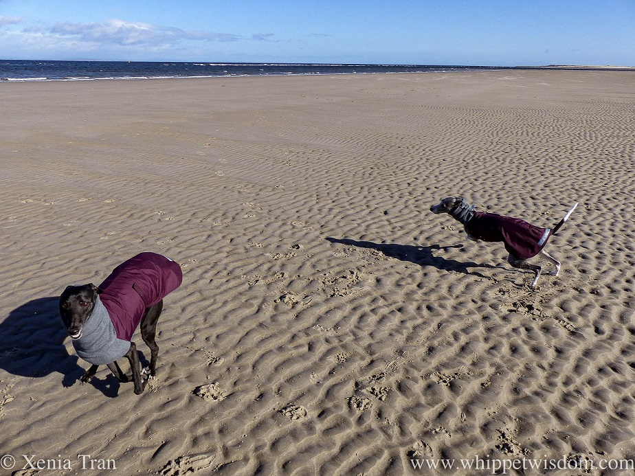 two whippets in winter jackets running in a circle on tidal sands