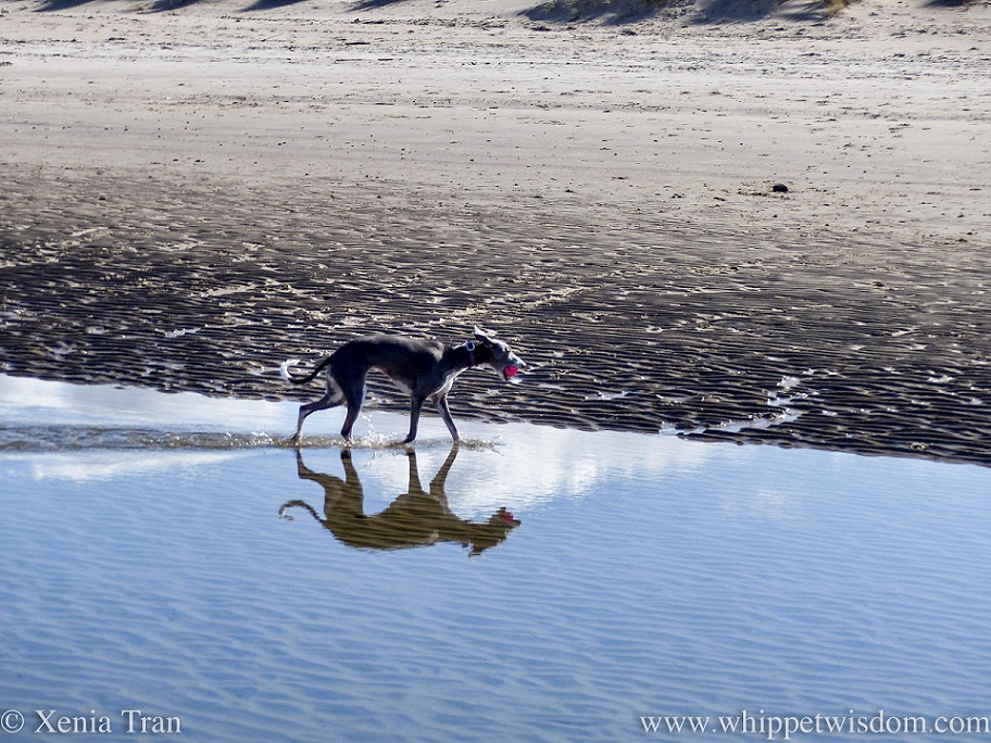 a blue and white whippet walking through a tidal lagoon