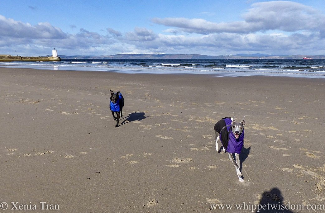 a smiling blue and white whippet and a black whippet in winter jackets running on the beach