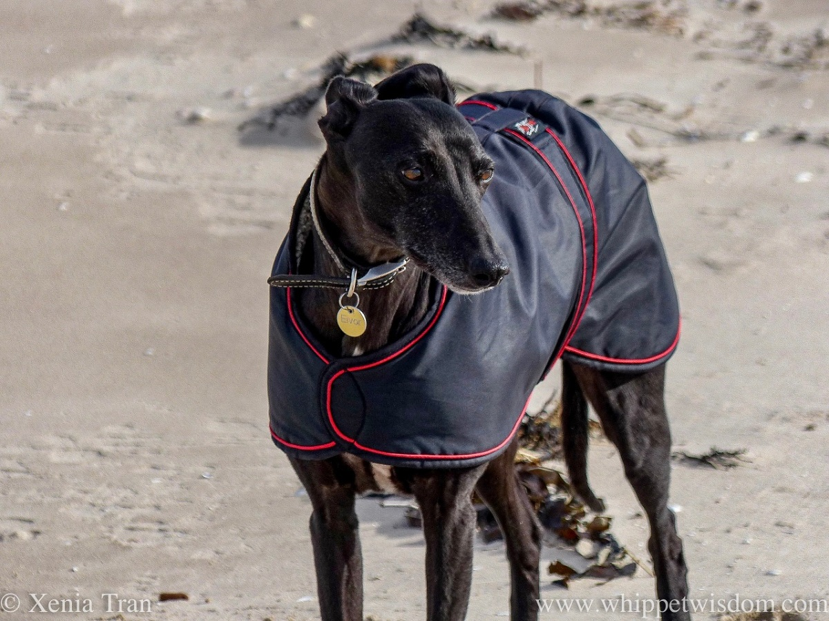 a black whippet in a black jacket standing on the beach