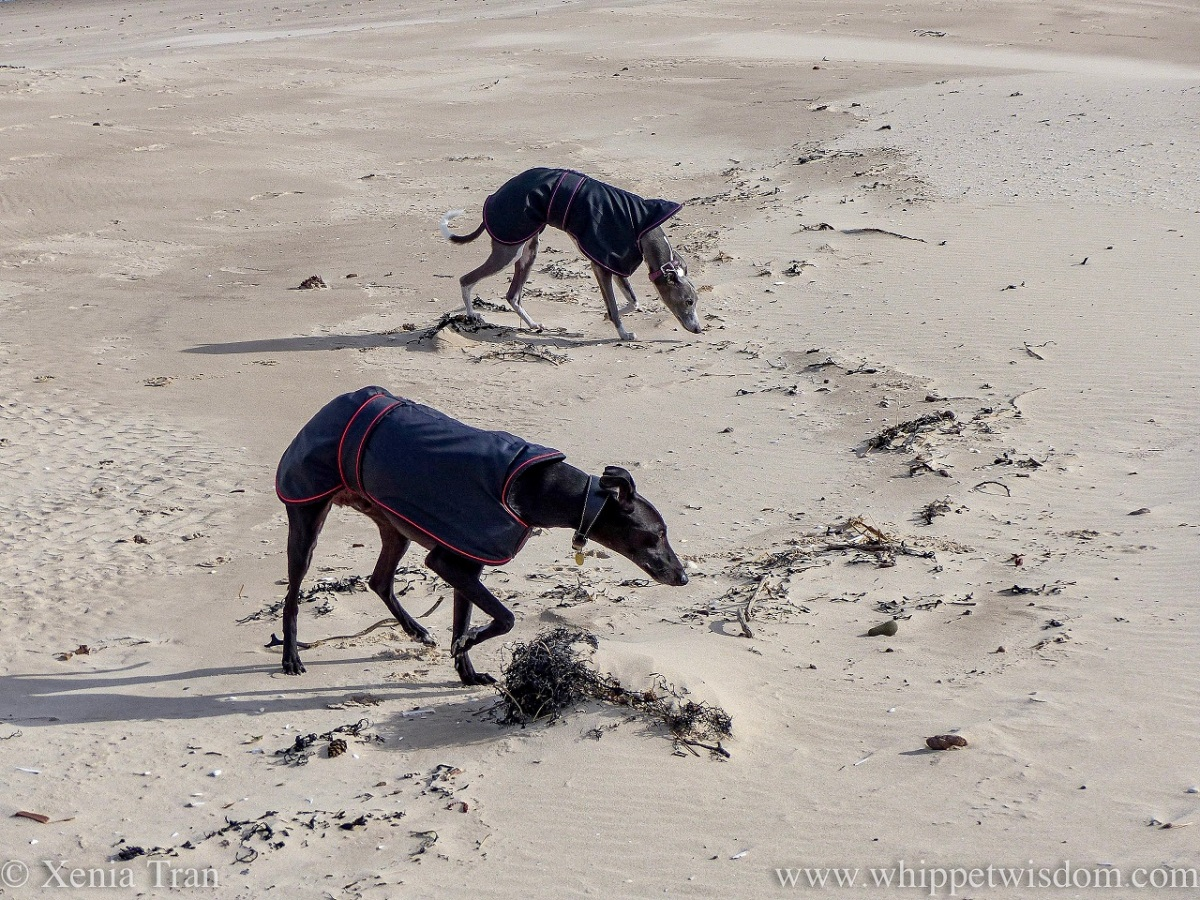 two whippets in black jackets striding out across wind-swept sands