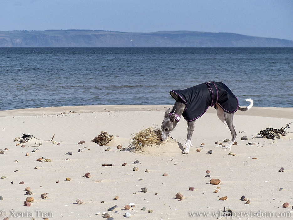 a blue and white whippet in a black jacket sniffing buried grass on the beach
