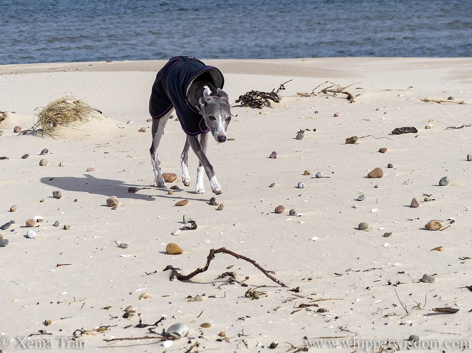 a blue and white whippet in a black jacket striding across the beach
