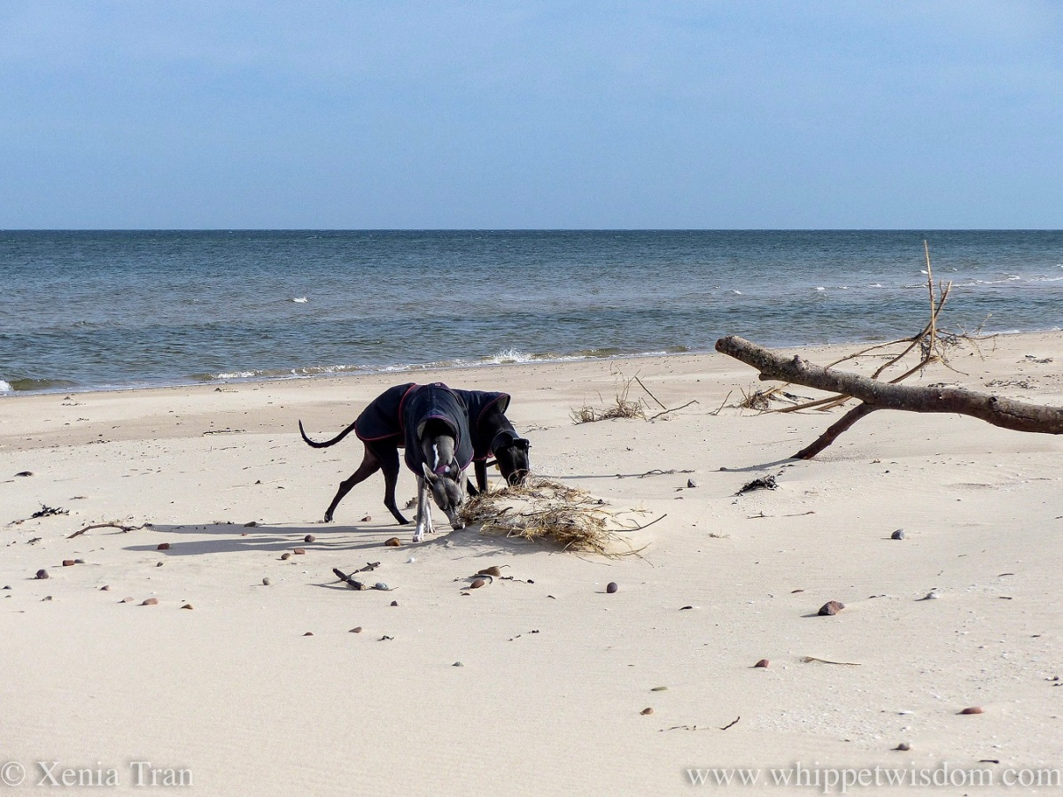 two whippets in black jackets sniffing the rootball of a buried driftwood tree