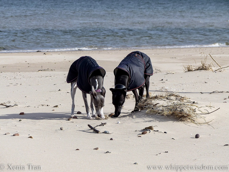 two whippets in winter jackets digging and sniffing on the beach