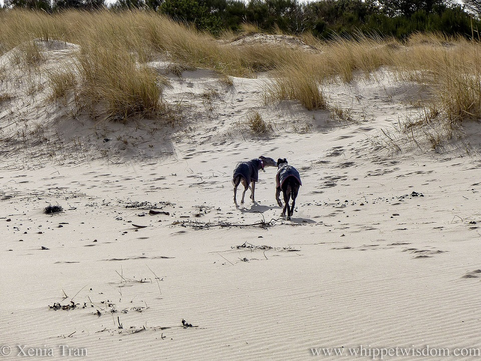 two whippets in black jackets walking away from the beach towards the dunes