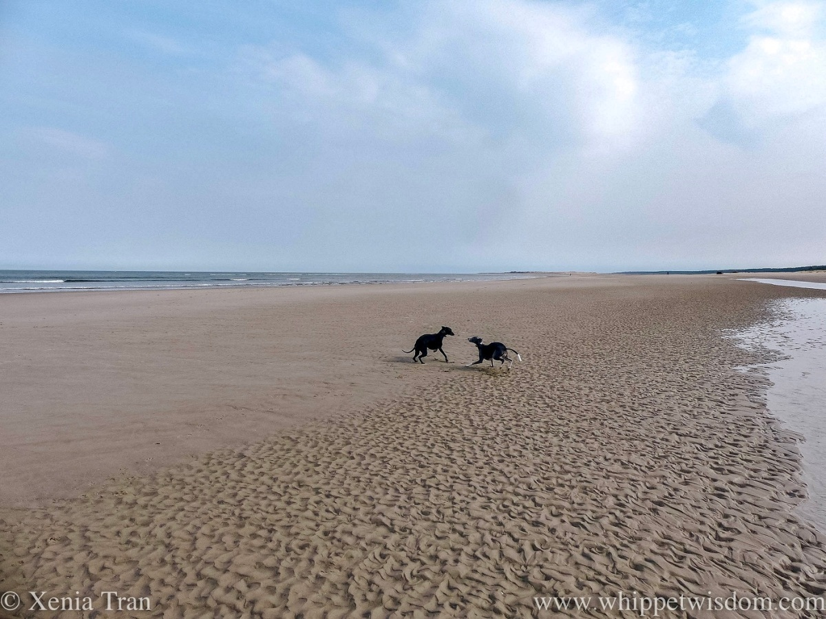 two whippets playing on a large sandbar