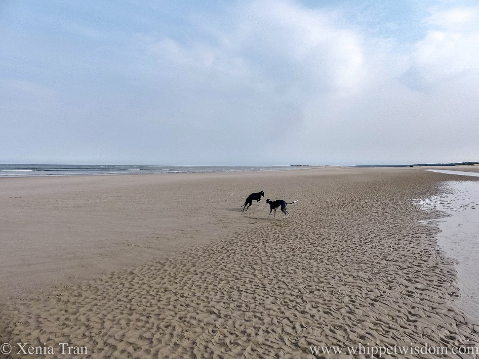 two whippets playing on a sandbar at low tide
