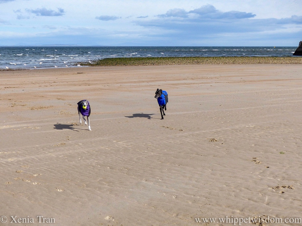 two whippets in winter jackets running across a windy beach