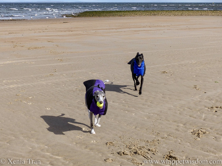 two smiling whippets in winter jackets running on the beach