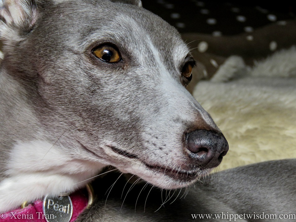 portrait of a blue and white whippet with a pink collar