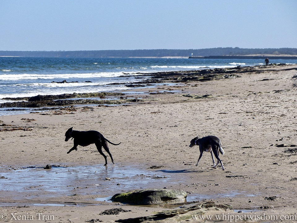two whippets running across a narrow beach towards the sea