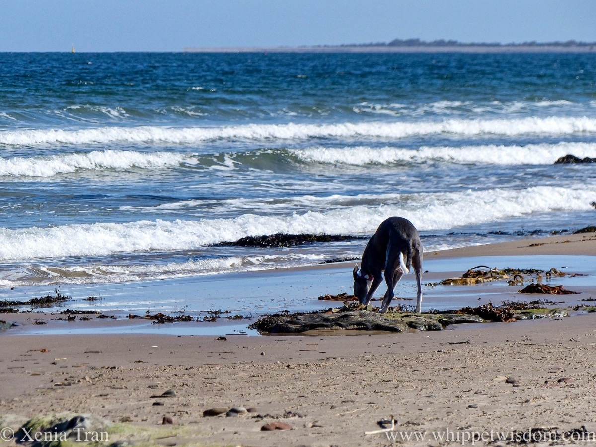 a blue and white whippet sniffing seaweed on wet tidal sands