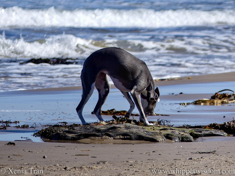 a blue and white whippet sniffing seaweed along the shoreline
