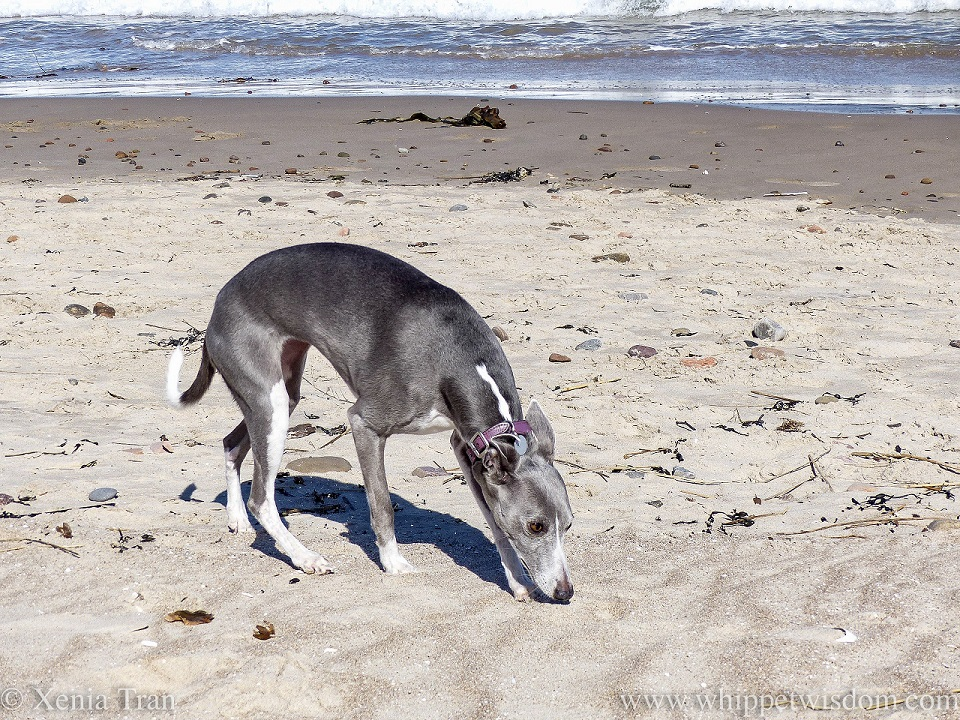 a blue and white whippet sniffing some sand on the beach