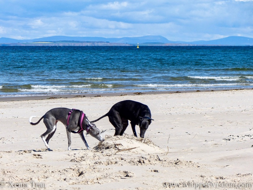 a blue and white whippet and a black whippet sniffing buried roots on the beach